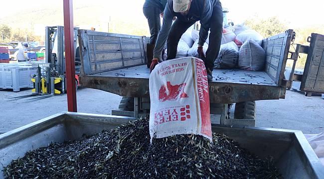 Foça'da zeytin hasadı ile sıkımı başladı