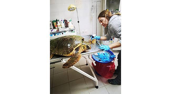 Güzelbahçe'de bulunan deniz kaplumbağasının tedavisi Sasalı'da sürüyor