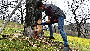 Kestane ağaçları iyileşiyor